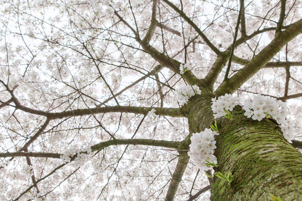 CherryBlossomsAmsterdam-013