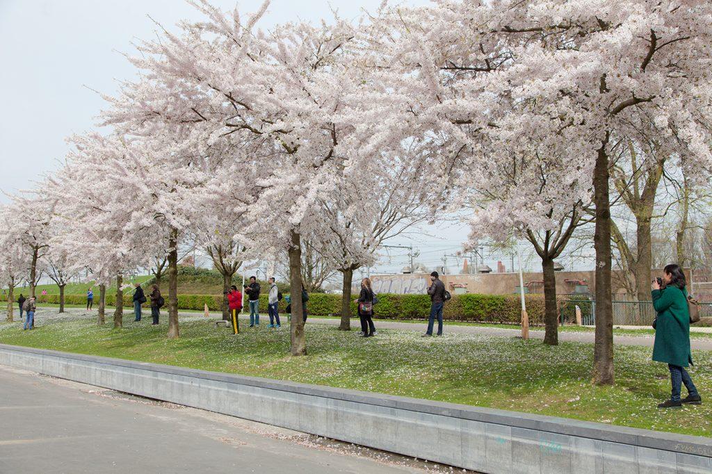 CherryBlossomsAmsterdam-032
