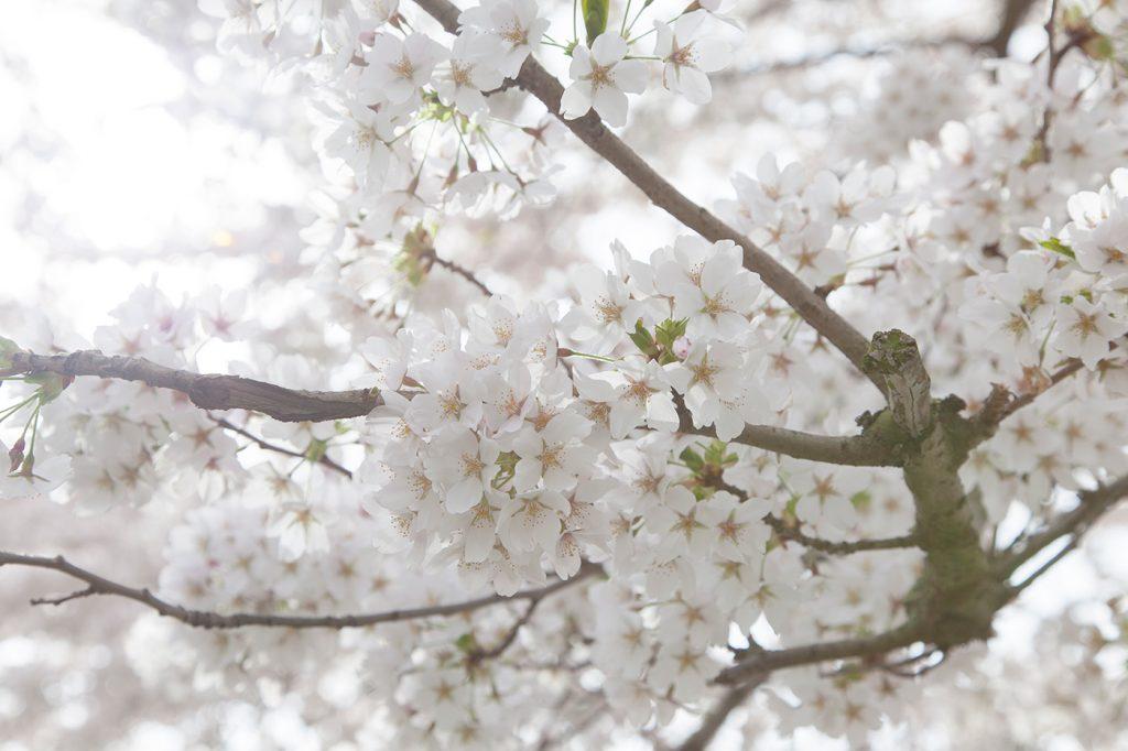 CherryBlossomsAmsterdam-034
