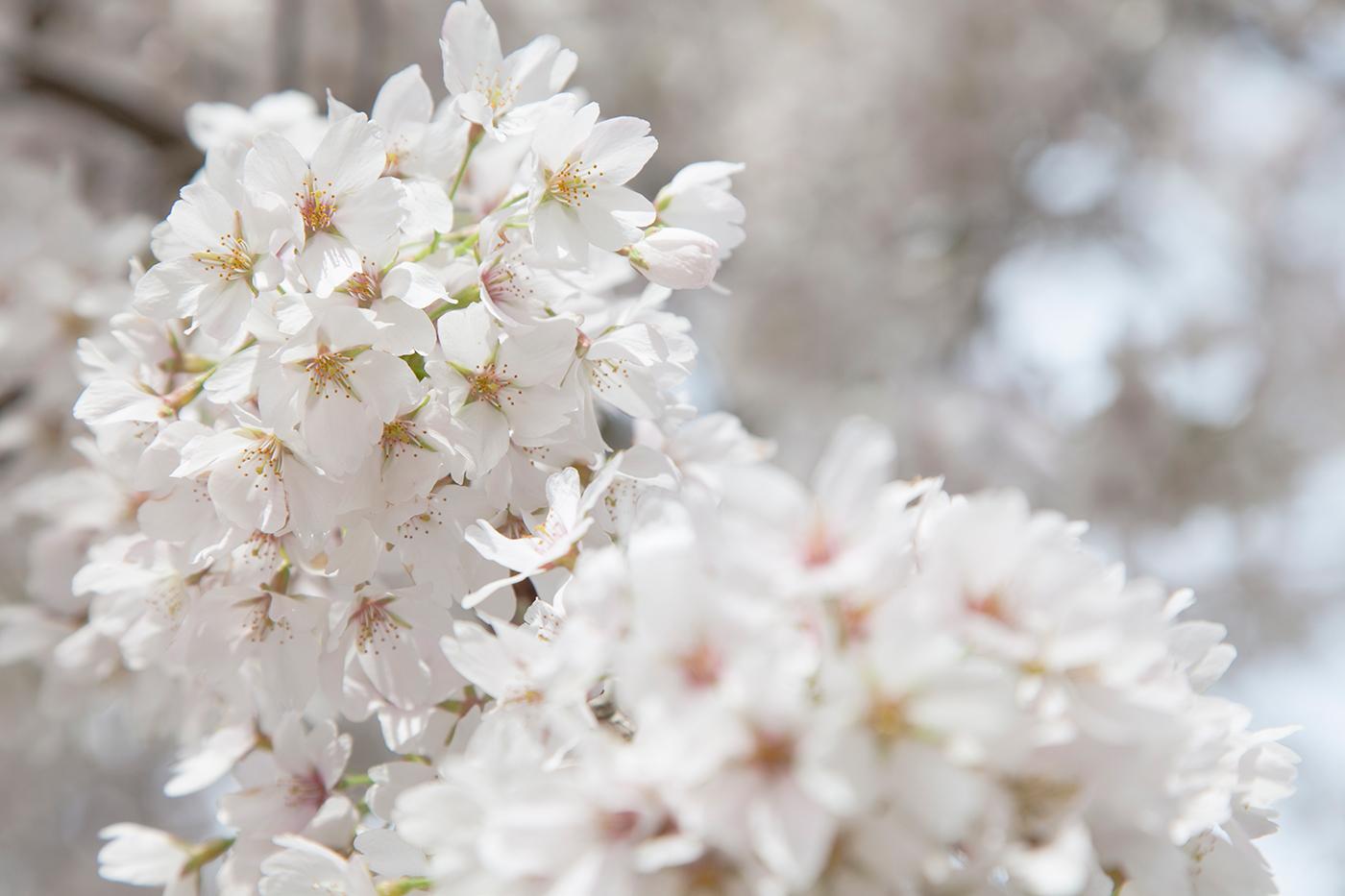 CherryBlossomsAmsterdam-040